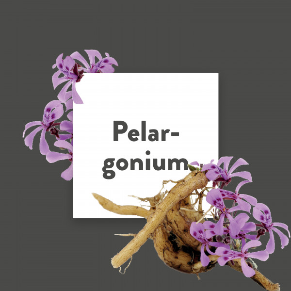 Pflanze-des-Monats-Pelargonium